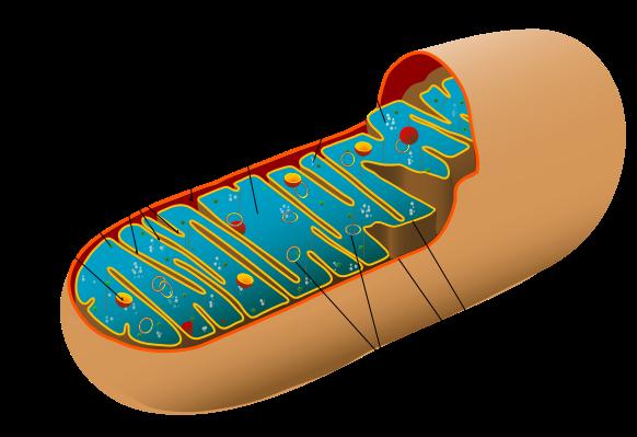 582px-Animal_mitochondrion_diagram_en.svg